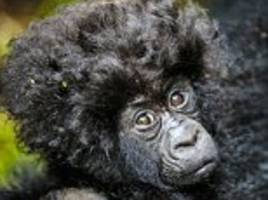 gorillas show off new arrival and his amazing bouffant 'do!