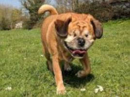 rescue pugalier with no eyes manages to run around thanks to her 'guide dog'