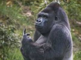 this is what i think of you-oo-oo! grumpy gorilla flips zoo visitor the finger