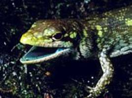 scientists baffled by why some lizards have evolved to have lime green blood