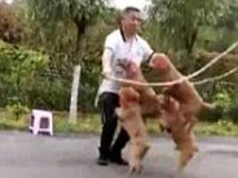 amazing footage show four poodles skipping a rope with their owner in perfect unison