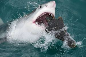 sharks in cornwall - which sharks live off the cornwall coast and what are the chances of an attack?