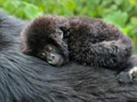 adorable photos show baby mountain gorilla playing around before tumbling into mummy's tummy