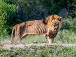 old lion is pictured starving to death in south africa