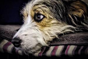alabama rot deadly dog disease case confirmed in scotland as vet issues grave warning