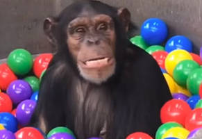 chimpanzees play in a ball pit made just for them