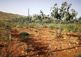 settlers: palestinians vandalized our vineyards