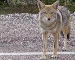 how coyotes conquered the continent