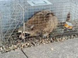 daredevil raccoon that climbed 25-story tower is safely trapped and set to be released