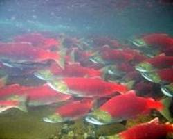 Unusual Supreme Court tie hands victory to Native Americans, salmon