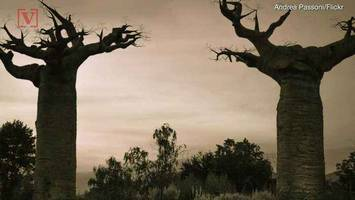 these ancient trees are dying – and no one knows why