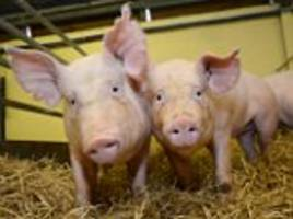 gene-edited super pigs resistant to a killer virus could fill our sausages within a decade
