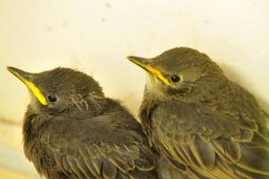 baby starlings ronnie and reggie rescued from recycling container in witley