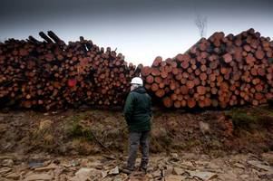 thousands more infected larch trees to be felled
