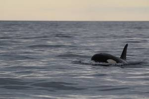 Wildlife expert wades into debate over orca 'killer whale' spotted in Cornwall