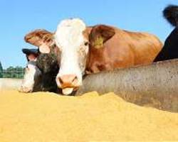 industrial microbes could feed cattle, pigs and chicken with less damage to the environment