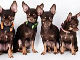 world's most cloned dog 'miracle milly' has been copied a record-breaking 49 times