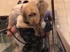 video shows frightened labradoodle had to be carried down escalator