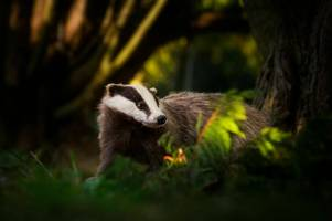 thousands sign petition against badger cull at chatsworth