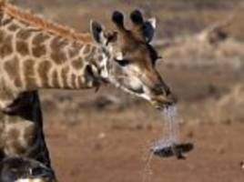 unlucky bird gets a surprise shower when it flies in front of a spitting giraffe