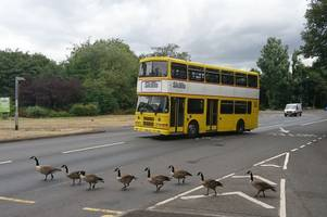Quick thinking bus driver protects geese trying crossing the road