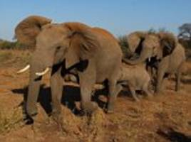 threats to lift ban on trophy-hunting in botswana