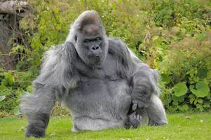 reaction: bbc tribute to longleat legend nico the gorilla made viewers 'cry their eyes out'