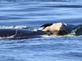 the heartbreaking plight of the critically endangered orcas in the pacific northwest