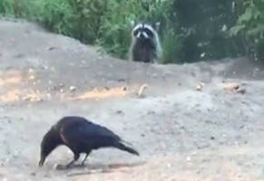 bold raccoon sets his sights on a crow