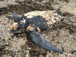 did plastic kill this turtle that washed up near penzance, cornwall?