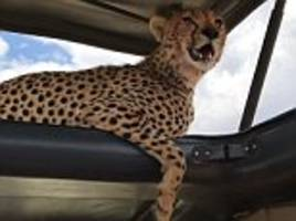 cheetah sits on open sun roof and poses for incredible safari photo