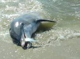 dolphins beach themselves to trap their prey on the sand before snapping up their dinner