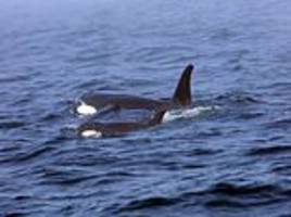 ailing 3-year-old orca from critically endangered pod refuses to eat live salmon