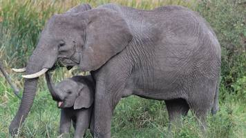 elephants have special genes that keep them from getting cancer
