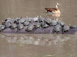 get off my back! hippo is ambushed by dozens of turtles as it takes a dip in south africa
