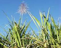 key gene to accelerate sugarcane growth is identified