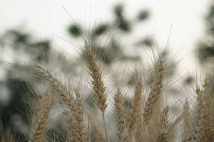 Scientists map out complete genetic codes of wheat