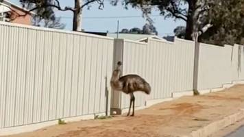 Australia drought: New South Wales town 'mobbed' by thirsty emus