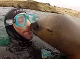 diver encounters playful sea mammal who pecks him on the lips and nibbles at his goggles