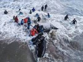 dramatic moment a beached killer whale is returned to the sea