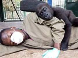 orphaned baby gorilla cuddles up to his carer after being rescued in cameroon