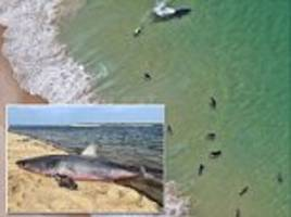 baby great white sharks spotted perilously close to swimmers in cape cod
