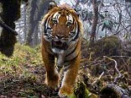 endangered bengal among incredible images in the wildlife photographer of the year competition