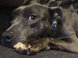 Derby dog owner returns from Croatia to news Staffordshire terrier was put down by council kennels