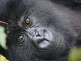 Gorillas form lifelong bonds with other apes that help neighboring groups keep the peace