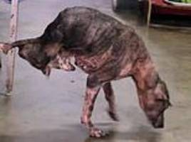 brave dog tay tay, who lost his back legs in a traffic accident