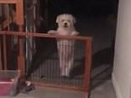 cute little dog thinks it's stuck behind gate which is actually wide open