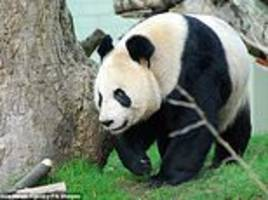 giant panda calls let the bears know the identity of neighbours