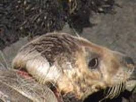 'heartbreaking' picture shows severely injured seal washed up on welsh beach