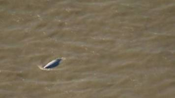 whale in thames spotted near gravesend again